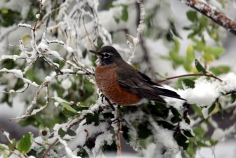 A robin in the September 2020 snow