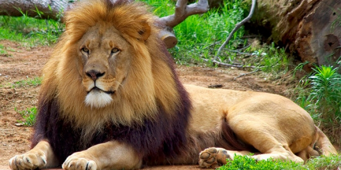 Why the Uproar Over Cecil the Lion?